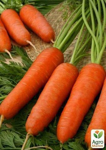 Морковь «шантане 2461»: описание и выращивание