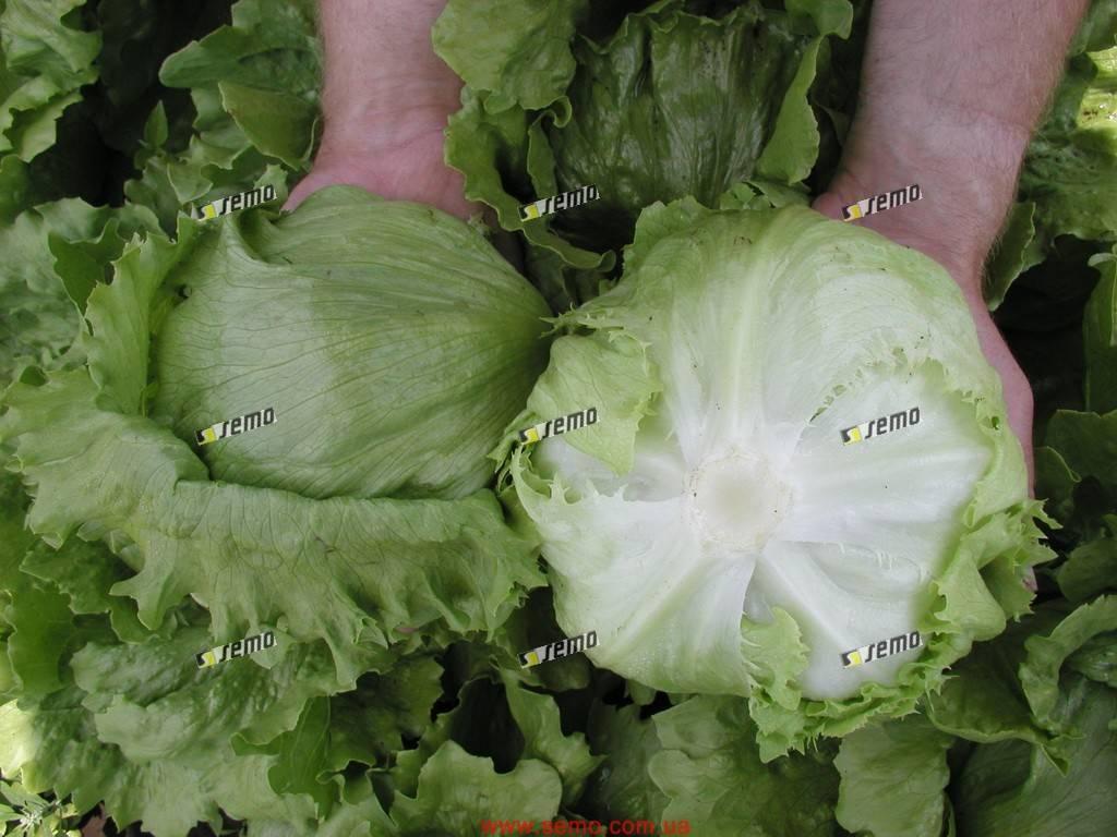 Как вырастить салат на подоконнике: 'айсберг' и другие сорта салата. сорта салата для выращивания на балконе