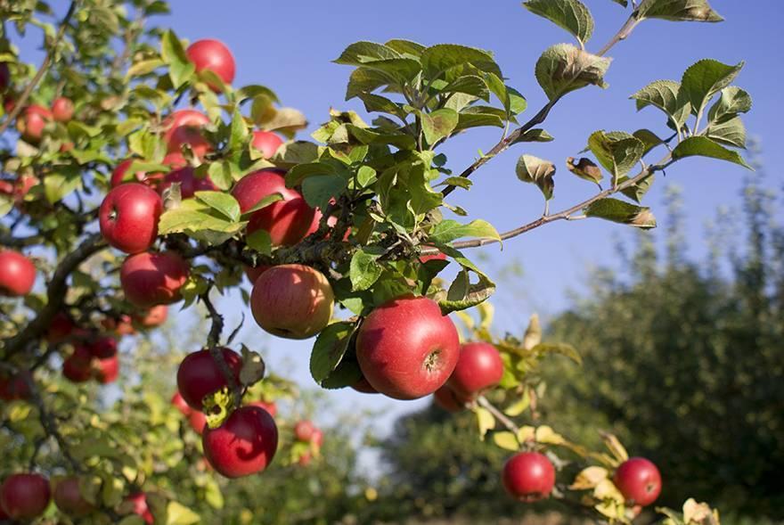 Особенности яблони мартовское