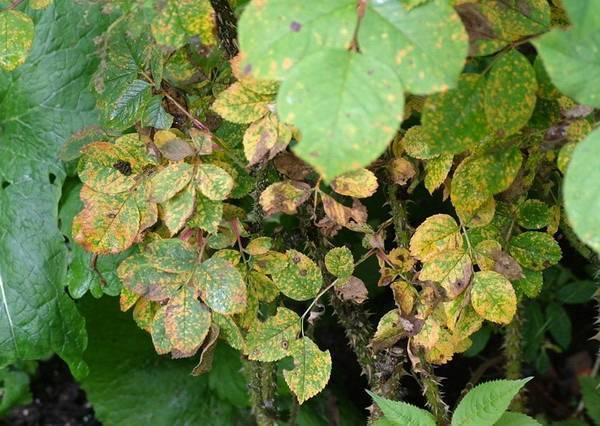 Что делать, если у садовой розы сохнут листья – руководство по первой помощи