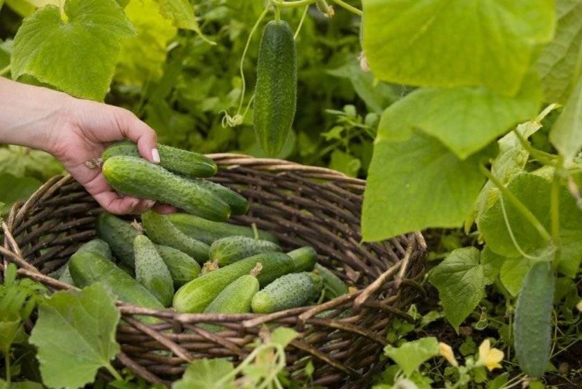 Какой урожай огурцов можно собрать с 1 кв м в теплице