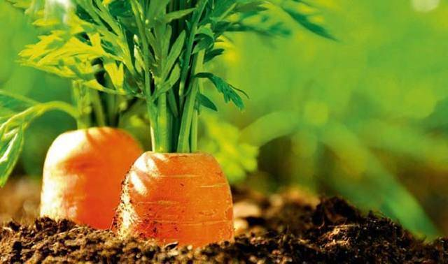 Как подкармливать морковь в открытом грунте?