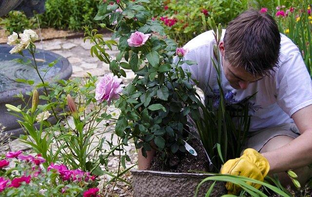 Чем удобрять розы: секреты буйного цветения