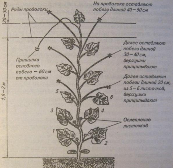 Как формировать дыни в открытом грунте