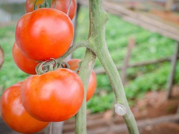 Томат таня ф1. происхождение сорта помидора«таня ф1»
