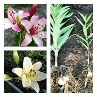 Нужно ли обрезать лилии после цветения и выкапывать луковицы на зиму?