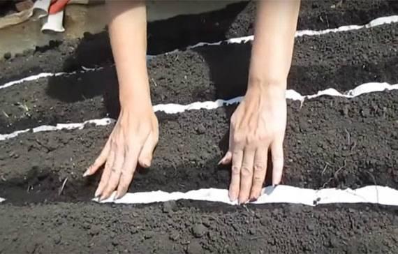 Когда сеять семена лука эксибишен для выращивания рассады