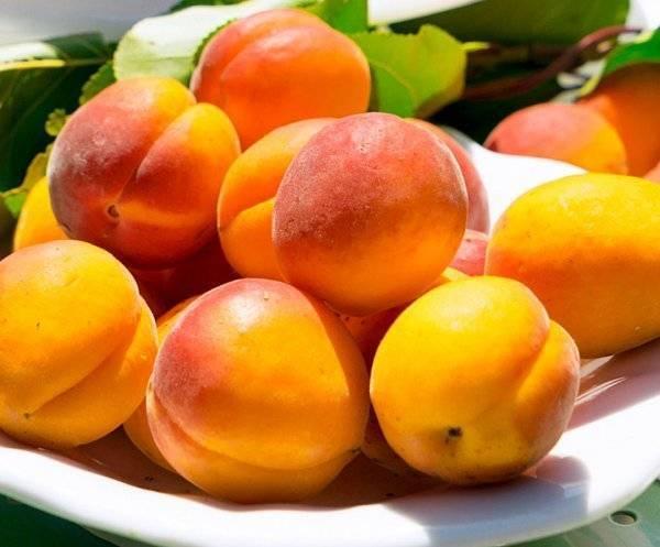 Особенности высадки и ухода за сортом абрикоса слава севера