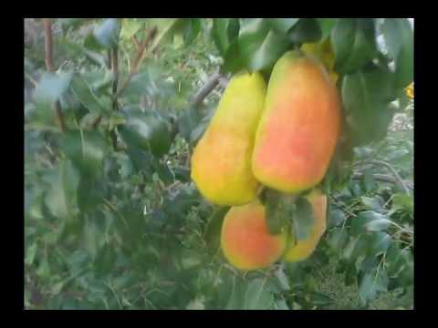 Один из сортов алтайской селекции — груша перун