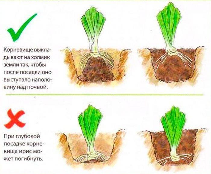 Размножение ирисов: подготовка деления куста и сроки черенкования