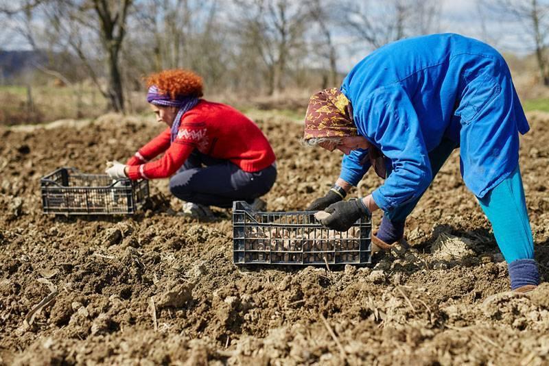 Принцип выращивания картофеля по методу картелева
