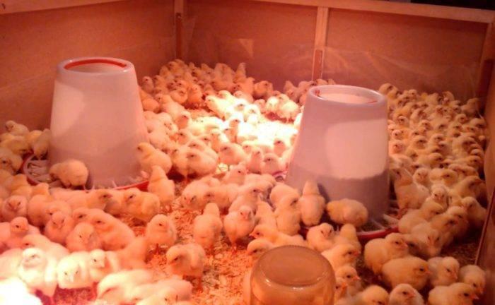 Инкубация яиц бройлеров в домашних условиях, особенности, температурный режим