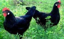 Куры породы барбезье: характеристики и выращивание