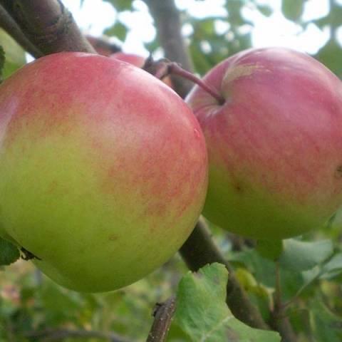 Яблоня имрус: описание сорта, преимущества и недостатки, характеристика плодов, особенности посадки и ухода, сроки сбора и хранения урожая