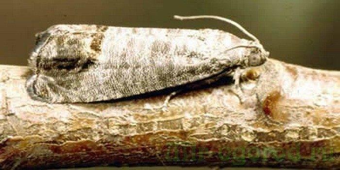 Как бороться с вредителями и болезнями груши