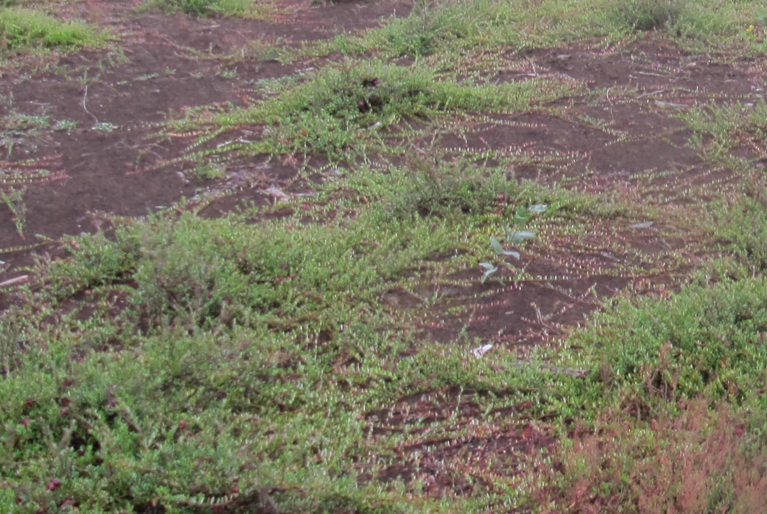 Как вырастить клюкву из семян в домашних условиях