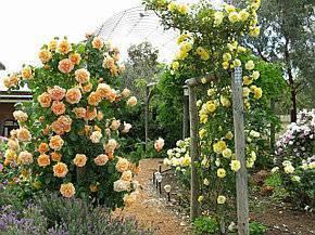 Роза полька ️
