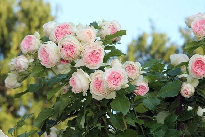 Описание роз группы грандифлора: какие сорта к ней относятся, характеристика