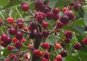 Сорт вишни морозовка: характеристика, секреты выращивания