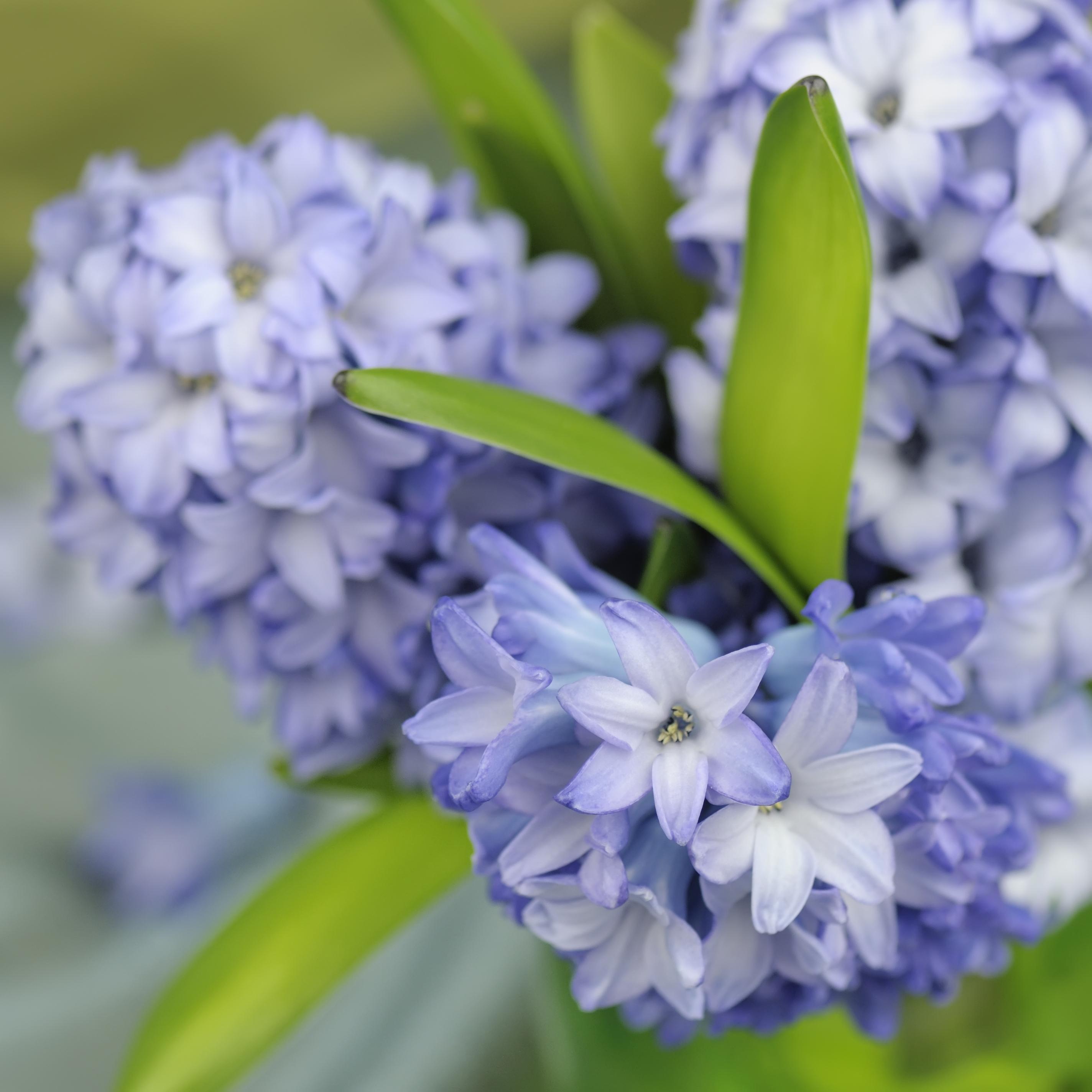 Цветок гиацинт многолетний: фото и описание, посадка, уход и выращивание гиацинтов в открытом грунте