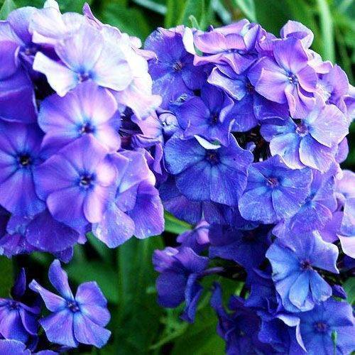 Синие флоксы