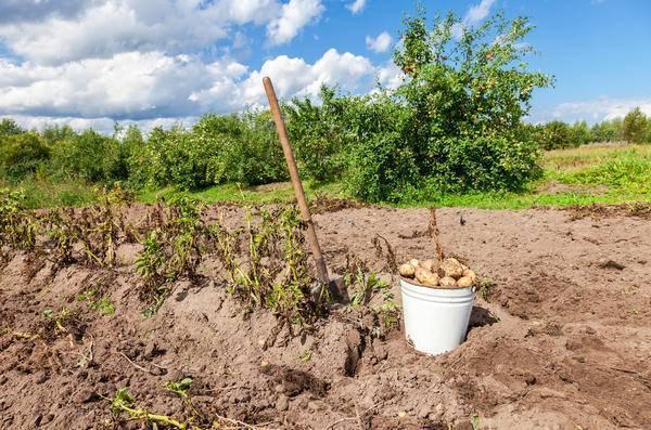 Сонник сон копать картошку. к чему снится сон копать картошку видеть во сне - сонник дома солнца
