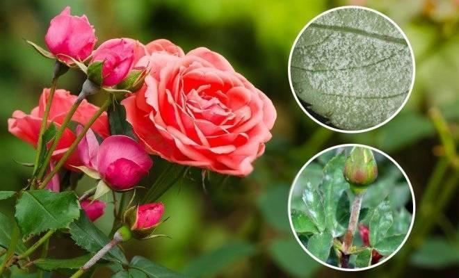 Что делать если розы заболели мучнистой росой