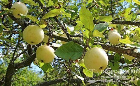 Как правильно ухаживать за яблонями сорта белый налив