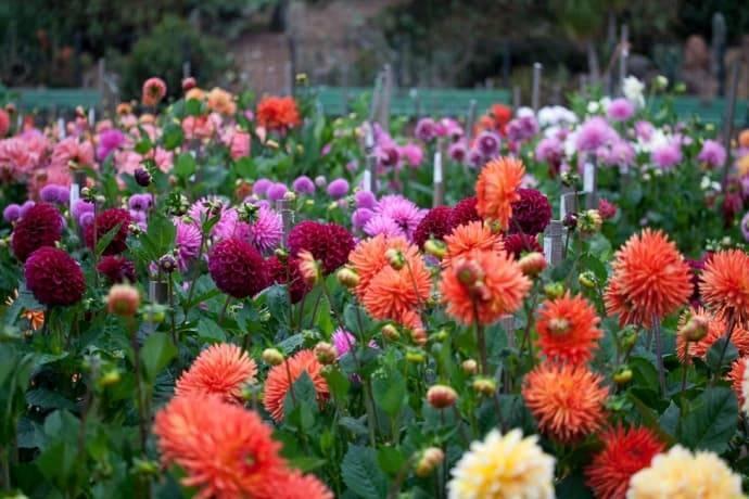Как посадить и ухаживать за георгинами летом: все о выращивании цветов