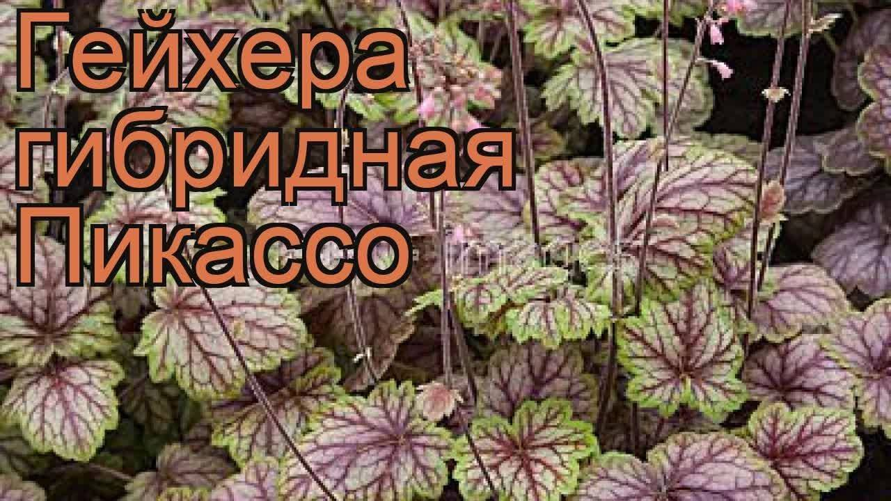 Цветы гейхера: фото и описание сортов, выращивание из семян, посадка и уход