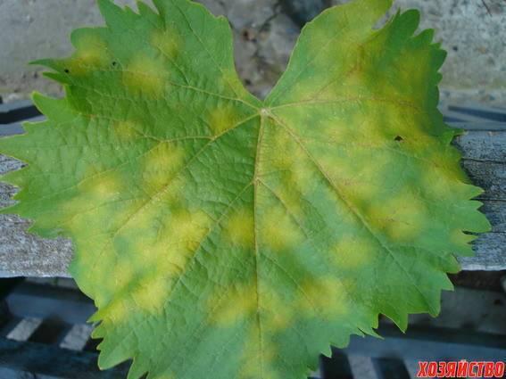 Болезни винограда: фото и советы садоводов по лечению