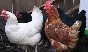 Куры мясных пород - особенности, виды, описание, разведение, фото | россельхоз.рф