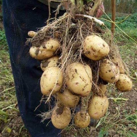 Позднеспелые сорта картофеля и их подробное описание