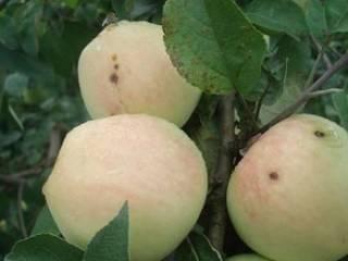 Неприхотливая яблоня антей: описание, фото