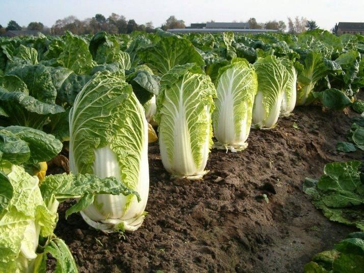 Универсальный овощ – капуста кольраби. подробная характеристика, включая выращивание и уход в открытом грунте