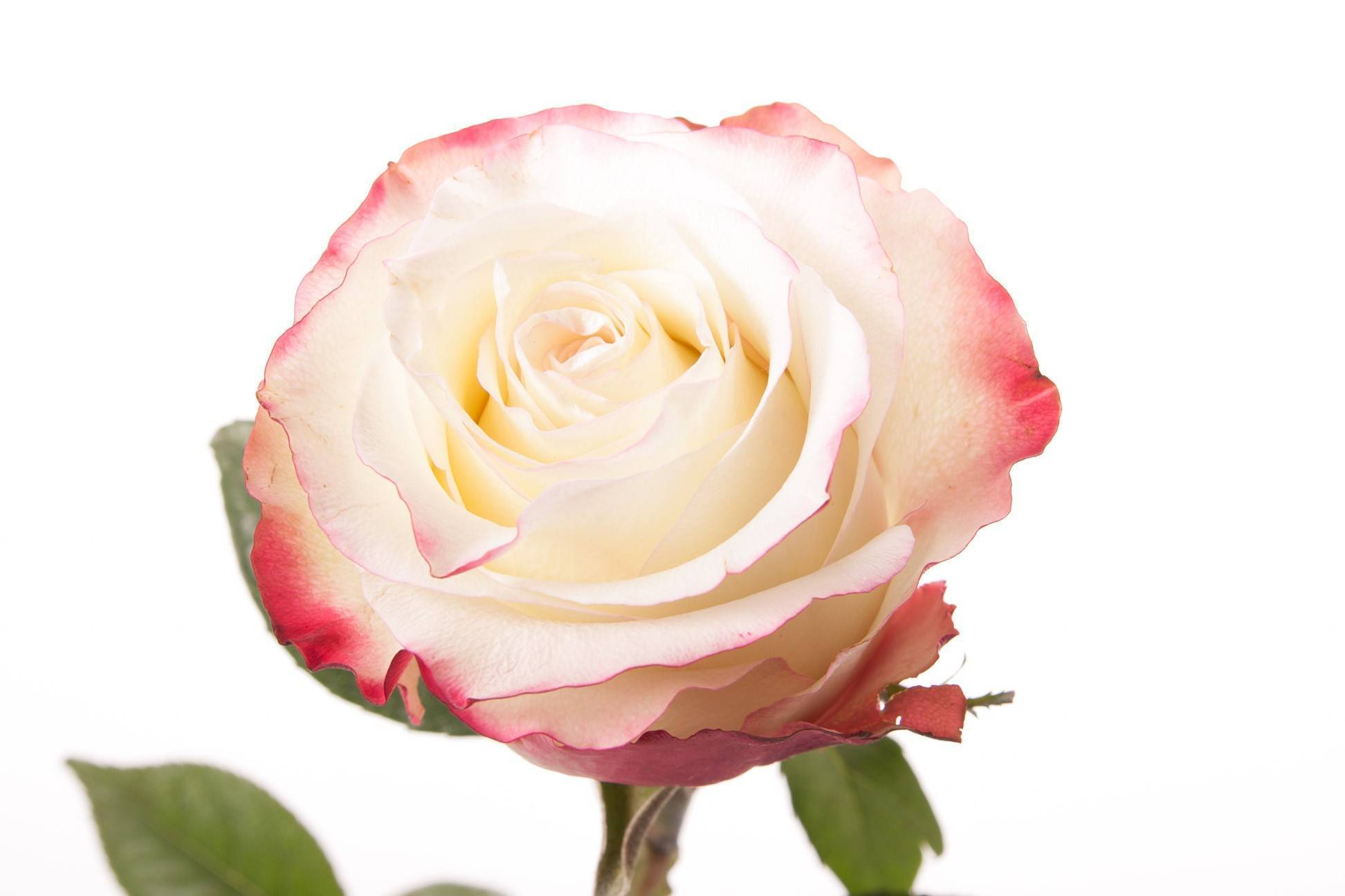Роза свитнесс: восхитительная аристократка в элегантном убранстве