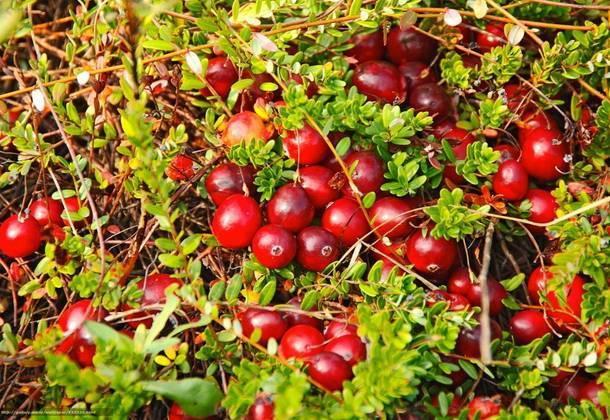 Правильное выращивание клюквы на садовом участке