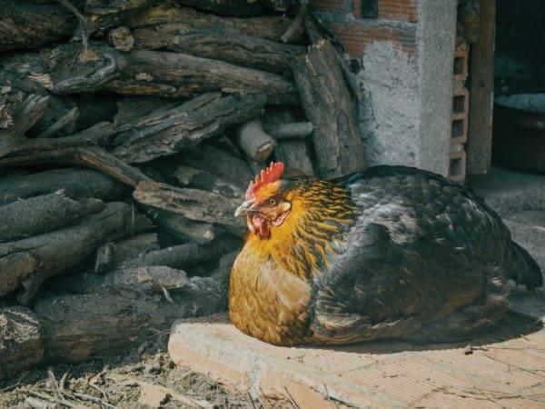 Цыплята и куры падают на ноги: причины и лечение