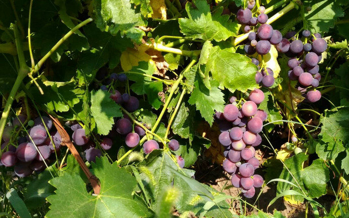 Кардинал (виноград) — википедия переиздание // wiki 2