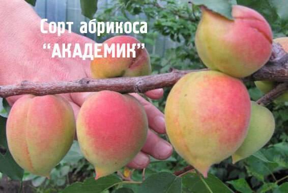 Растение абрикос: описание лучших сортов