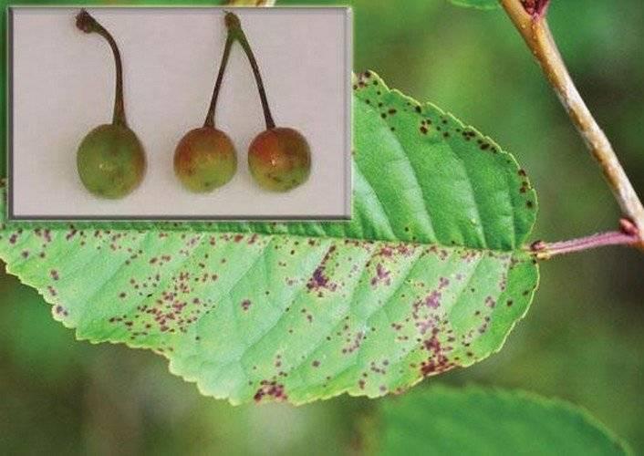 Болезни и вредители плодовых деревьев: описание и методы борьбы
