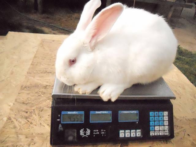 Описание породы кроликов белый паннон с фото