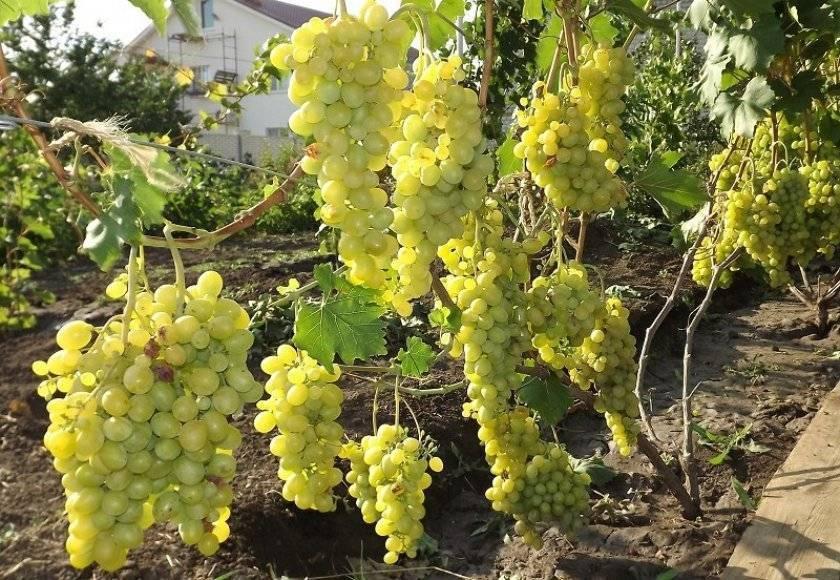 Проверенный временем популярный сорт винограда «восторг»