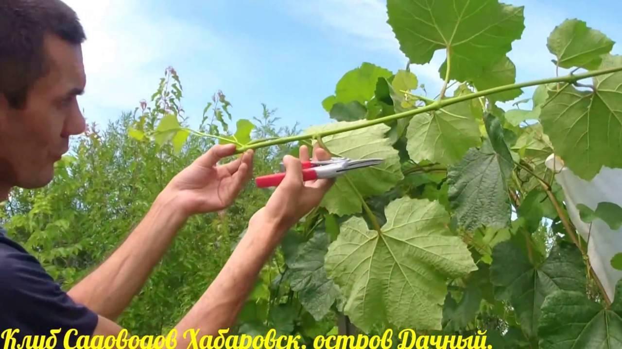 Как обрезать виноград летом от ненужных побегов, прищипывание, пасынкование