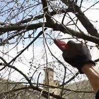 Подкормка вишни весной