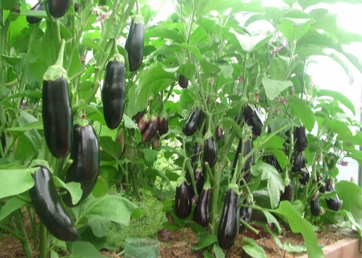 Баклажан - выращивание и уход в теплице из поликарбоната: какие сорта сажать лучше и как провести подкормку?