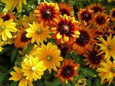 Рудбекия – секреты правильной посадки и ухода за растением