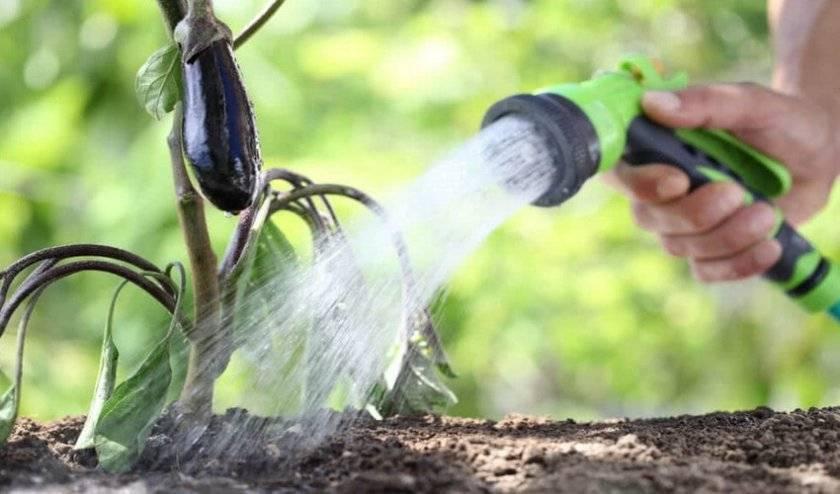 Особенности выращивания баклажан в теплице из поликарбоната в домашних условиях: посадка на рассаду, полив, уход и все о том, как их там правильно вырастить