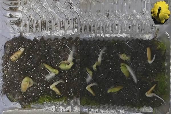 Сколько прорастают семена огурцов