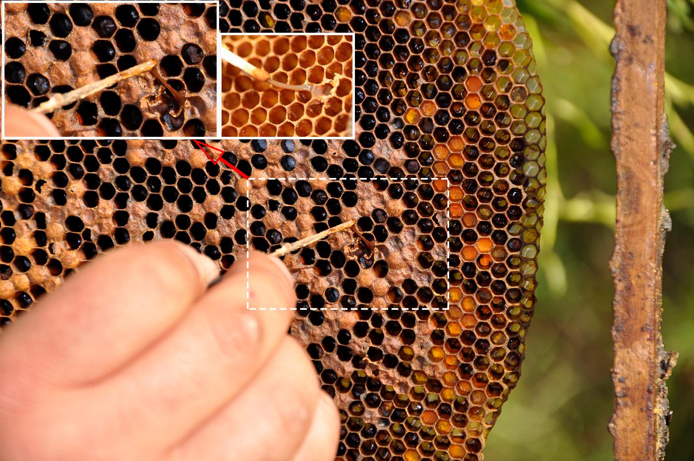 горбатый расплод у пчел фото мне